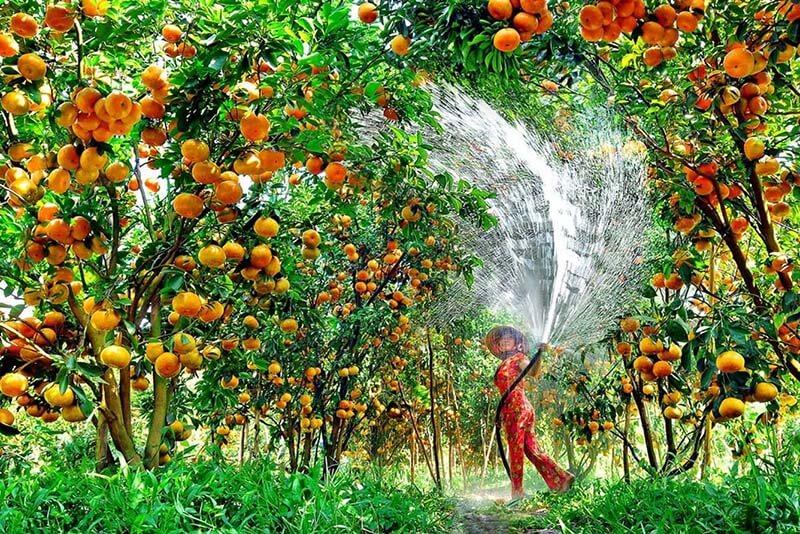 Những miệt vườn đầy hoa quả nặng trĩu quả của người Miền Tây